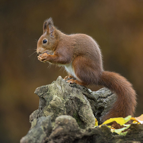 Ein Eichhörnchen im Central park